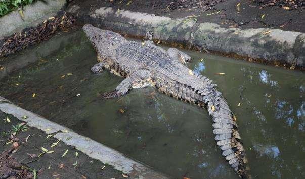 Крокодиляча ферма