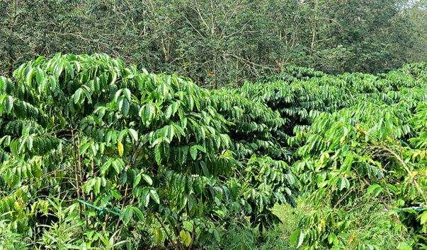 Плантації кави