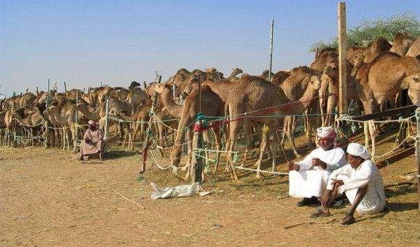 Верблюжий ринок