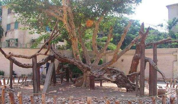 Дерево Святої Марії
