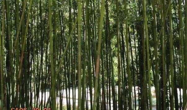 Бамбуковий гай