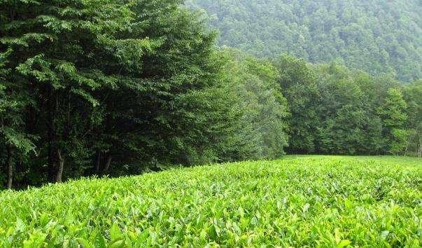Мацестинская чайна плантація